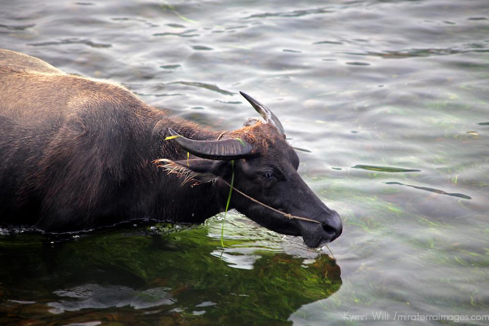 Asia, China, Guilin. Water buffalo in waters of Li River.