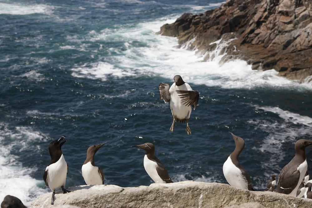 Guillemots ( Uria lomvia )  Ireland Saltee Islands