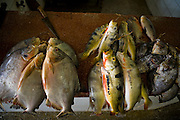 Fresh fish being cleaned at a shop on the dock on the Solimoes River in Manacapuru, Brazil.