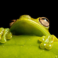 A treefrog of the genus Hyloscirtus peers from behind a leaf in the Choco of Colombia