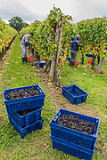 Grapes are tranfered from red buckets to blue baskets ready for squeezing - easonal workers from Romania start picking the Pinot Noir grapes at the Redfold Vineyard which produces English Sparkling wine in East Sussex.