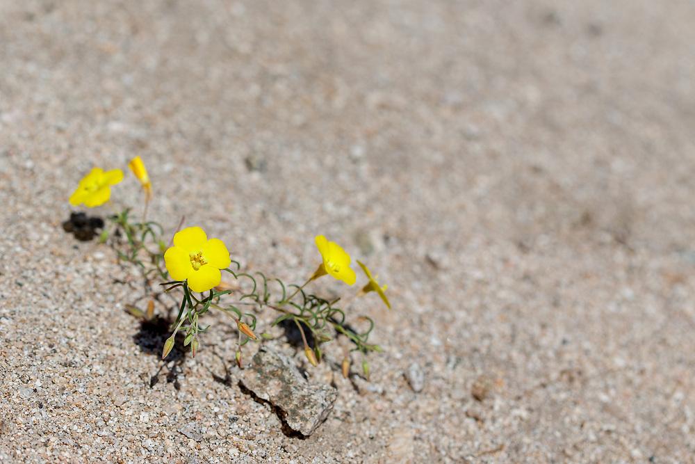 Camissonia campestris (Mojave sun cups) at Bob's Gap, Los Angeles Co, CA, USA, on 18-Apr-15