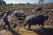 Farmers plow rice fields with buffalo in Laos.