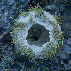Sea Urchin Shell, Castine, Maine, US