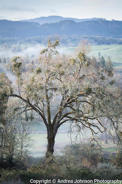 Oak trees, Abacela vineyard, Umqua Valley, Roseburg, Oregon