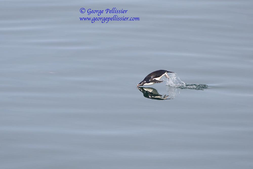 An Adelie Penguin (Pygoscelis adeliae) in McMurdo Sound, Antarctica.