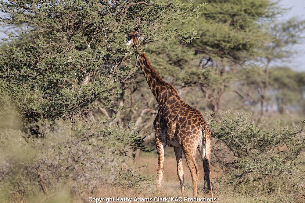 near Ndutu, in the Ngorongoro Conservation Area, Tanzania, Africa.