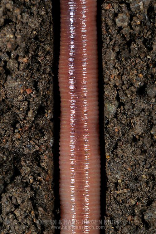 Common earthworm, Nightcrawler, Lumbricus terrestris, in terrestrial pipe..Gemeiner Regenwurm, Tauwurm, Lumbricus terrestris; in Erdroehre