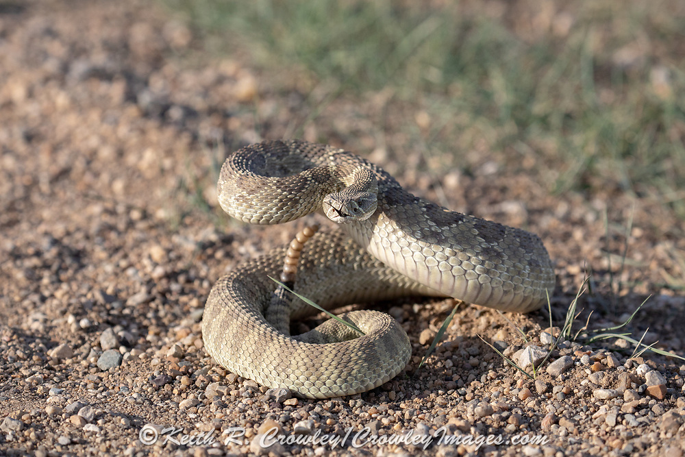 Prairie Rattlesnake coiled to strike.