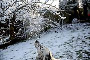 """English Setter  """"Rudy"""" spielt am 04.02.2018 mit dem Schnee im Garten.  Rudy wurde Anfang Januar 2017 geboren und ist gerade zu seiner neuen Familie umgezogen."""