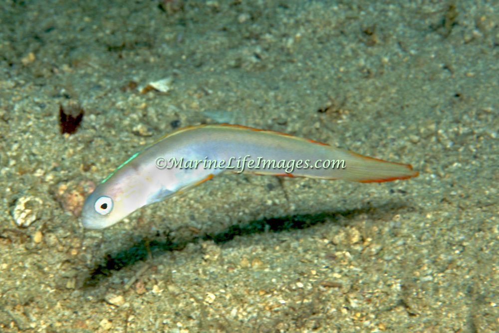 Bluestripe Dartfish hover above burrow in sand in SE Caribbean from St. Vincent to Venzeula; picture taken Margareta Is, Venezuela.