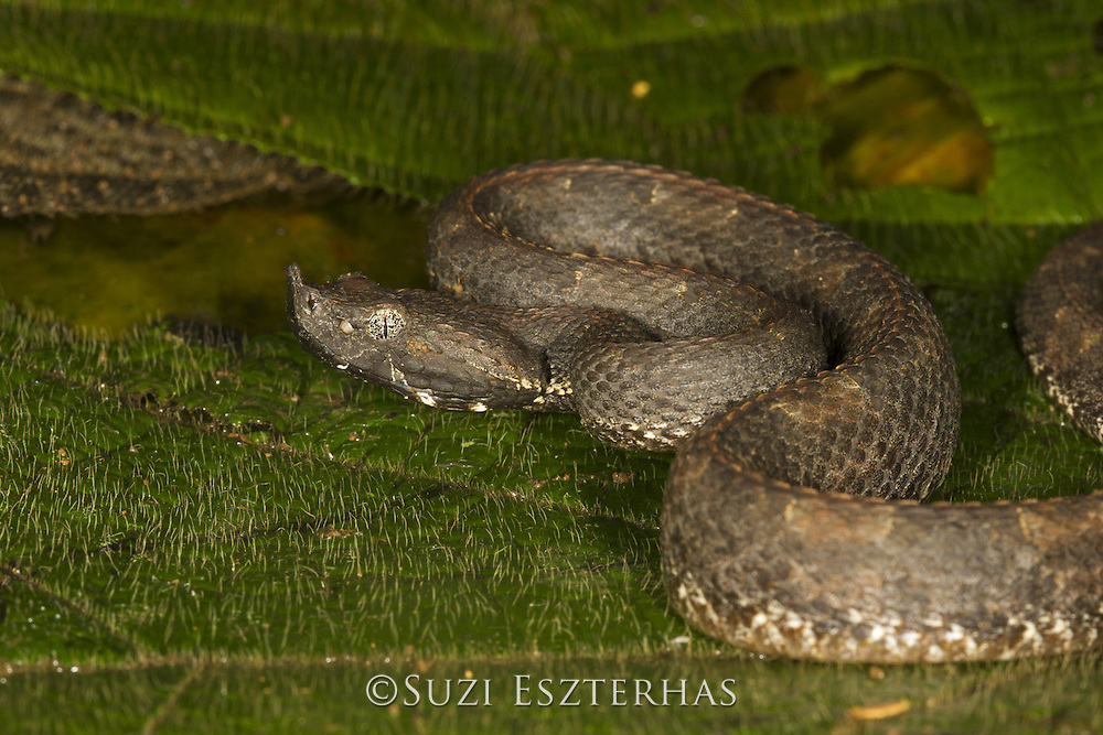 Hog-nosed Pit Viper <br /> Bothrops nasutus<br /> Northern Costa Rica, Central America