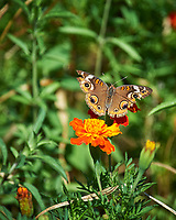 Common Buckeye butterfly on a Marigold flower. Image taken with a Nikon Df camera and 70-300 mm VR lens
