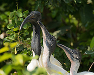 A black-headed ibis feeds two large chicks, Ranganathittu Bird Sanctuary, India