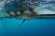 Caribbean Reef Shark (Carcharhinus perezi) Research<br /> MAR Alliance is performing population assessments on Sharks, Rays, and Great Barracuda to aid with management and protection. They are collecting samples to determine methyl mercury levels.<br /> MAR Alliance<br /> Lighthouse Reef Atoll<br /> Belize<br /> Central America