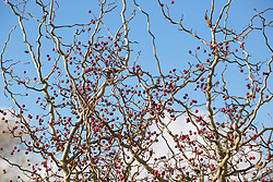 The berries and wiggly stems of Crataegus monogyna 'Flexuosa'. Contorted hawthorn.