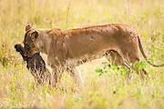 Lioness (Panthera leo) with prey. Photographed in Tanzania