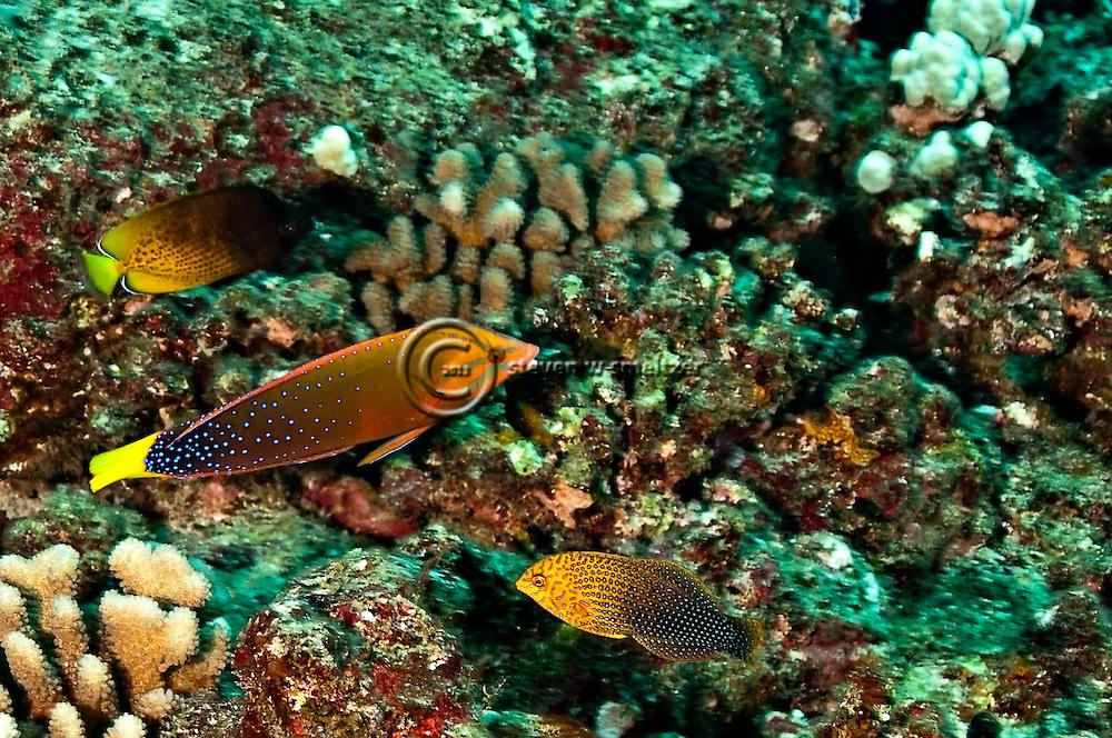 Shortnose Wrasse, Macropharyngodon geoffroy, (Quoy & Gaimard, 1824),  and Yellowtail Coris, Coris gaimard, (Quoy & Gaimard, 1824), Molokai Hawaii