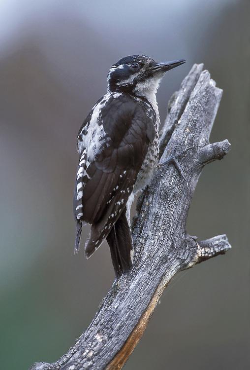 American Three-toed woodpecker - Picoides dorsalis - Adult female