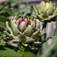 Large globe artichokes (Cynara cardunculus) just about to flower at which point they will no longer be edible