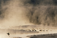 Red-crowned Cranes (Grus japonicus) awaking at sunrise on the mist covered Setsuri River, Hokkaido, Japan...IUCN Red List:  Endangered Species