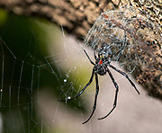 Unidentified black spider with a delicate web in the forest of Palmarium Resort, eastern Madagascar.