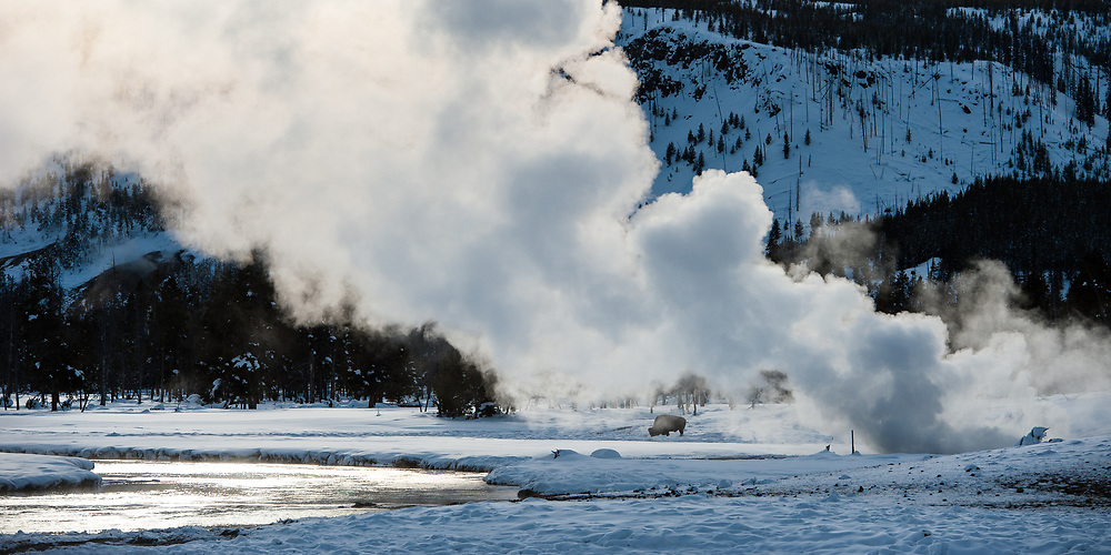 American bison (Bison bison) foraging underneath the damp of a geyser during winter in Yellowstone National Park