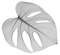 X-ray image of a split-leaf philodendron leaf (Monstera deliciosa, black on white) by Jim Wehtje, specialist in x-ray art and design images.