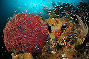 Colourful Soft corals (Alcyonacea) surrounded by reef fish. Raja Ampat, West Papua, Indonesia, Pacific Ocean  [size of single organism: 0,7 cm]   Raja Ampat, West Papua, Indonesien, Pazifischer Ozean