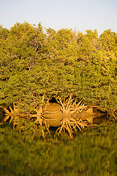 Mangrove roots are mirrored in the still water at low tide in Shoal Bay.