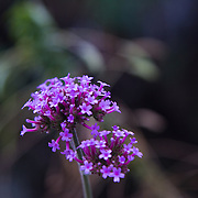 Verbena is a genus in the family Verbenaceae. This was photographed in Fire Island, NY