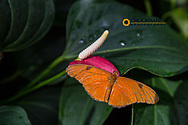 Julia butterfly at the Butterfly and Nature Conservatory in Key West Florida, USA, Julia, dryas julia,