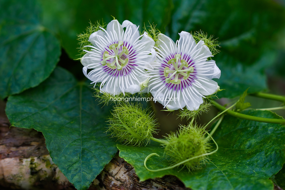 Vietnam Images-Flower-hoa -Hoàng thế Nhiệm