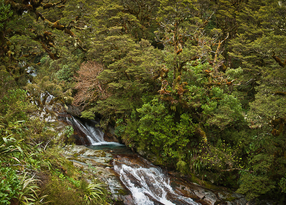 Beech branches and lush undergrowth overhang a cascading waterfall, Roaring Burn, Milford Track, New Zealand