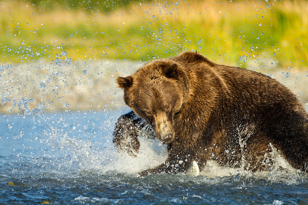 USA, Alaska, Katmai National Park, Grizzly Bear (Ursus arctos) splashes while chasing salmon in spawning stream along Kukak Bay