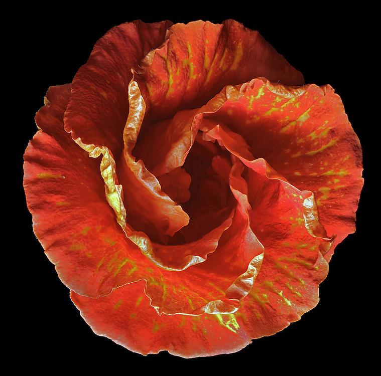 "Tropical Hibiscus, ""Sun showers"", (Hibiscus rosa-sinensis ), #MAL003"