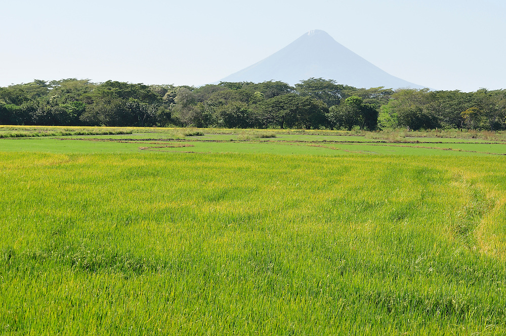 Rice field, Nicaragua, Central America.