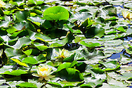 Yellow lotus flowers in a pond at Majorelle Garden, Marrakech.