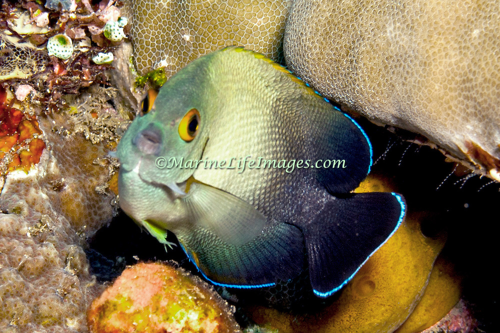 Pearl Scaled Angelfish inhabit reefs. Picture taken Bail, Indonesia