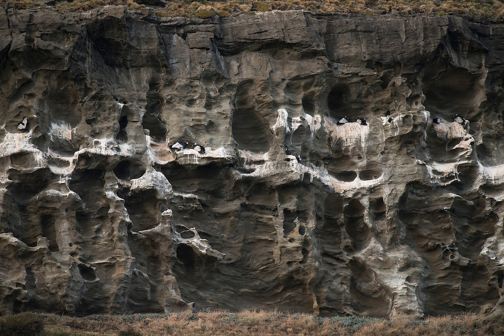 Andean Condor (Vultur graphs) roost<br /> near Torres del Paine National Park<br /> Patagonia<br /> Magellanic region of Southern Chile<br /> IUCN STATUS: near threatened