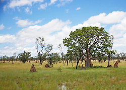 A boab sports a lush canopy as it stands amongst termite mounds in the Kimberley wet season.