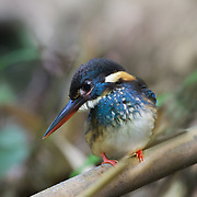 The blue-banded kingfisher (Alcedo euryzona), is a species of kingfisher in the subfamily Alcedininae. Its natural habitats are subtropical or tropical moist lowland forest, subtropical or tropical mangrove forest, and rivers.