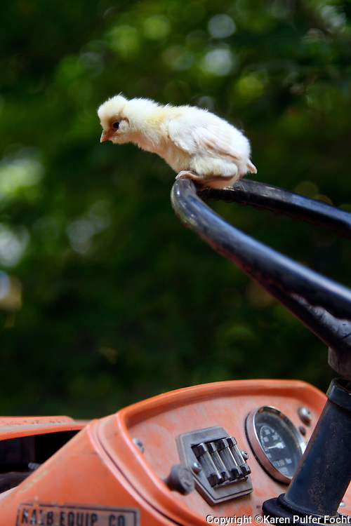 The rising popularity of raising chickens.