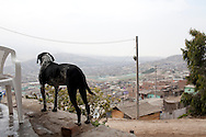 A dog looks out over the city on Wednesday, Apr. 8, 2009 in Ventanilla, Peru.