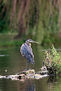 A closeup shot of a Great Blue Heron (Ardea herodias) perched on a rock in a lake in the evening sunlight.