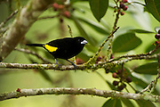 Lemon-rumped Tanager (Ramphocelus icteronotus) Male<br /> Mindo<br /> Cloud Forest<br /> West slope of Andes<br /> ECUADOR.  South America<br /> HABITAT & RANGE: Tumbes-Chocó-Magdalena in Panama, Colombia, Ecuador and Peru