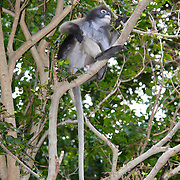 Dusky, or Spectacled Langur or Dusky Leaf-monkey (Trachypithecus obscurus) at Khao Sam Roi Yot, Thailand.
