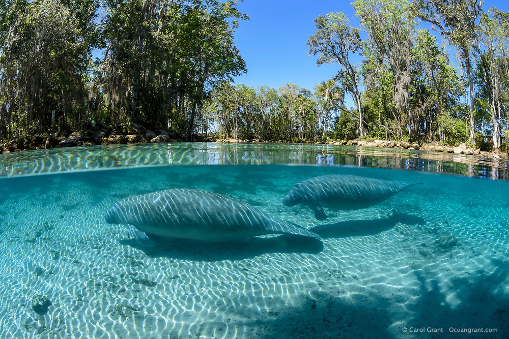 Split- level image showing a calf following its mother in Three Sisters Springs. This is a recent image from March 2018. Florida manatee, Trichechus manatus latirostris, a subspecies of the West Indian manatee, endangered. Three Sisters Springs, Crystal River National Wildlife Refuge, Kings Bay, Crystal River, Citrus County, Florida USA. IUCN Red List: Endangered. USFWS implemented downlisting to Threatened 2017: http://www.iucnredlist.org/details/22106/0. Taken under USFWS SUP Permit