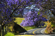 Jacaranda trees line the roadway in upcountry Maui, intensifying the picturesque pastoral landscape with its lavender blossoms.<br />