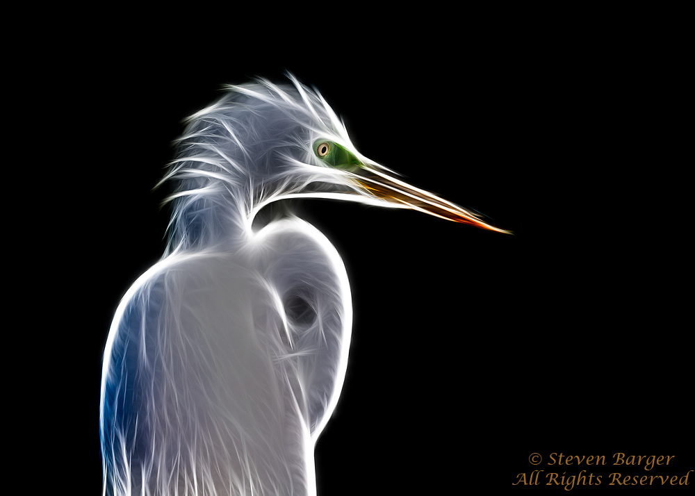 Snowy Egret image digitally manipulated in Photoshop.
